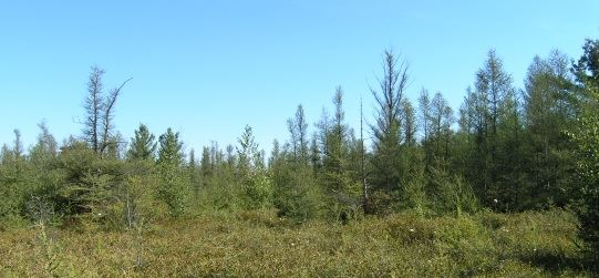 Forested area of the bog during the daytime